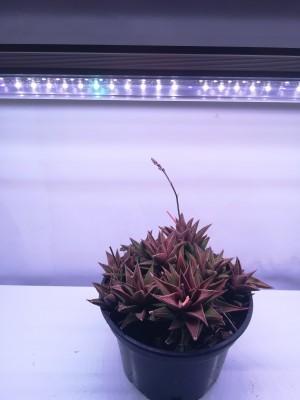 LED GROW trubica pre rast kaktusov a sukulentov, 5W, 30 cm, plné spektrum ružovo-fialová